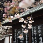 cerisiers japonais otodoke