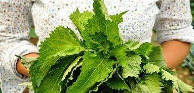shiso plante japonaise